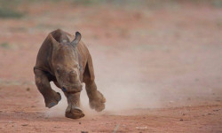 A baby white rhino runs towards the camera ©Jofie Lamprecht