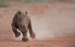 A baby white rhino runs towards the camera ©Jofie Lamprecht