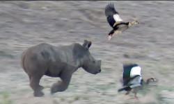 baby-rhino-birds