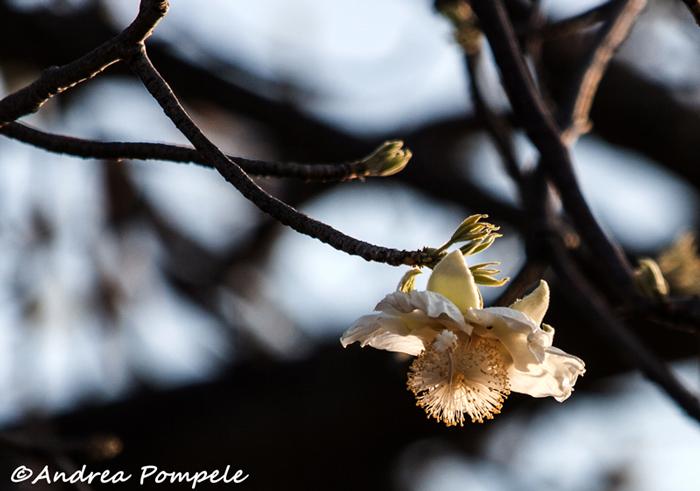 Baobab flower ©Andrea Pompele