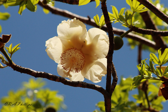 Baobab flower ©Rebecca Phillips