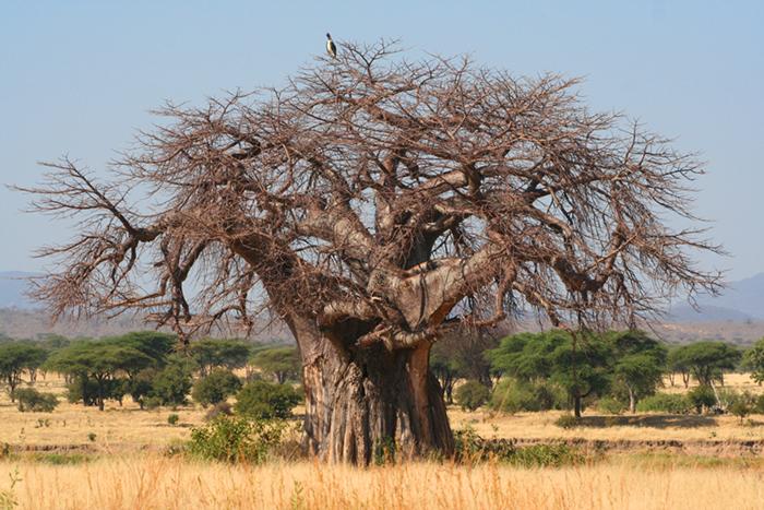 Baobab in Ruaha ©Flo Montgomery