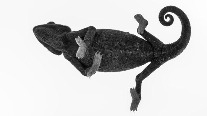black-and-white-chameleon