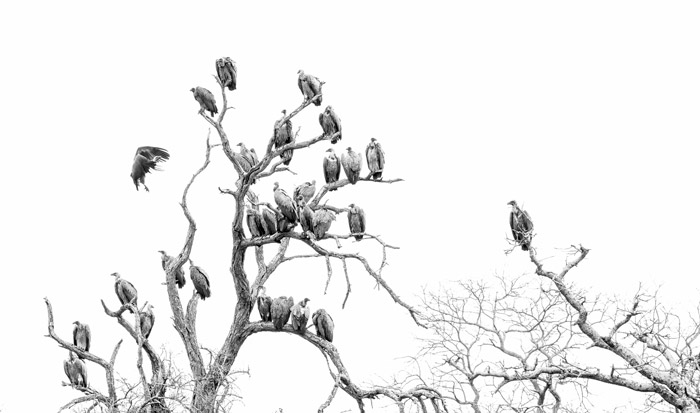 black-and-white-vultures