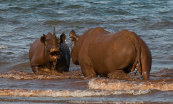 black-rhino-clash-water