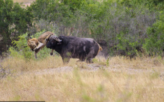 Flipping Heck: The buffalo sends one of its attackers flying