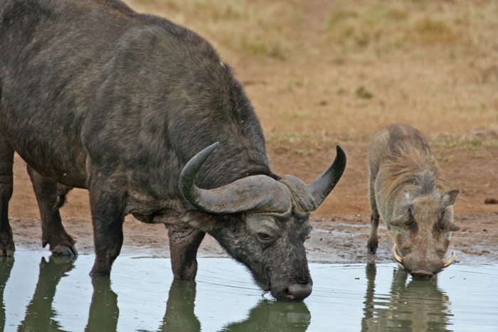 A buffalo and warthog drink together in Addo ©Janine Avery