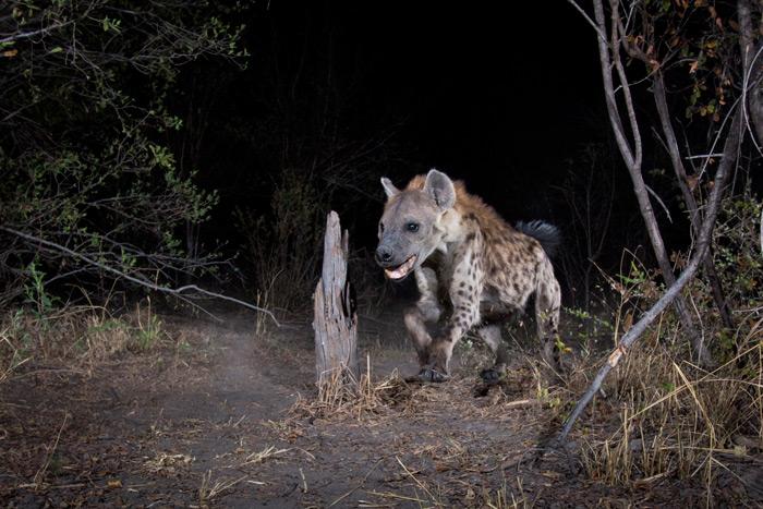 cameratrap-hyena-will-burrard-lucas