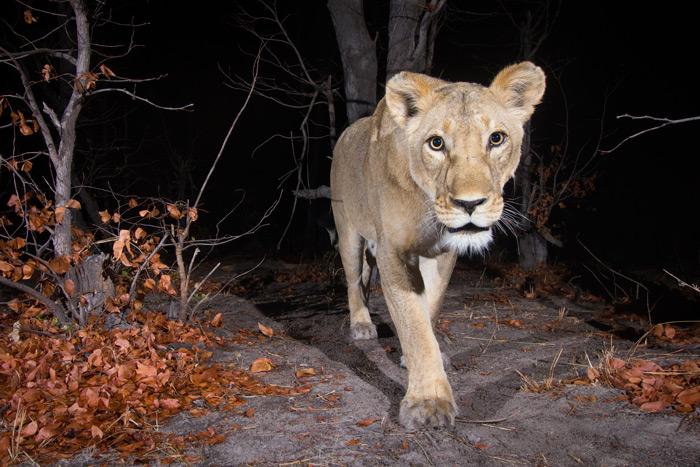 cameratrap-lion-will-burrard-lucas