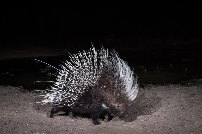 cameratrap-porcupine-will-burrard-lucas