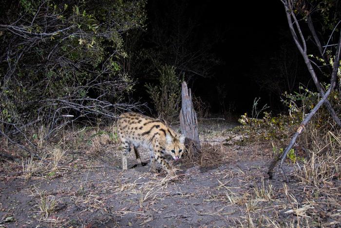 cameratrap-serval-will-burrard-lucas