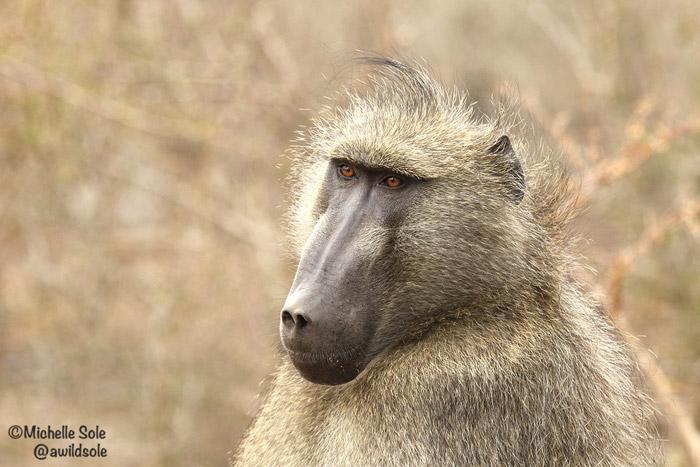 chacma-baboon