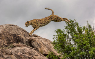 cheetah-leaps-off-rock