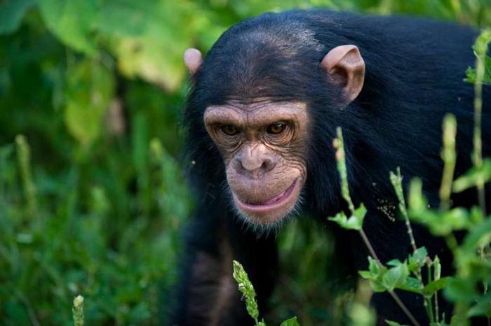 chimpanzee-nyungwe-wal-mark-safaris