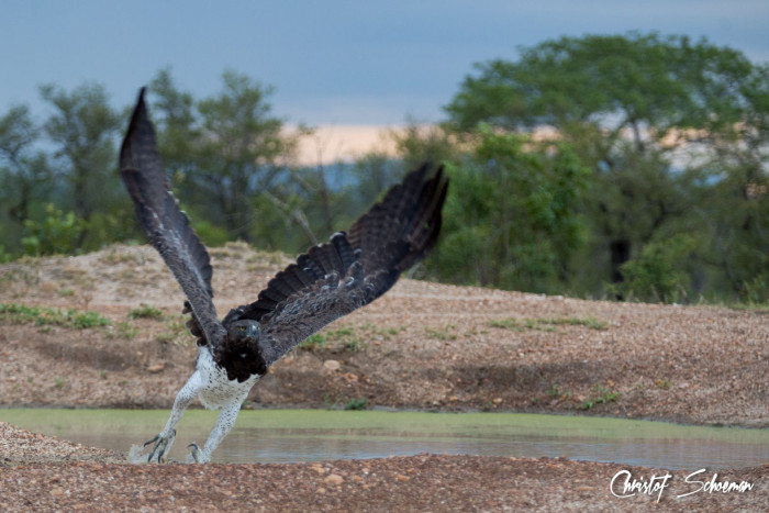 christof-schoeman-martial-eagle