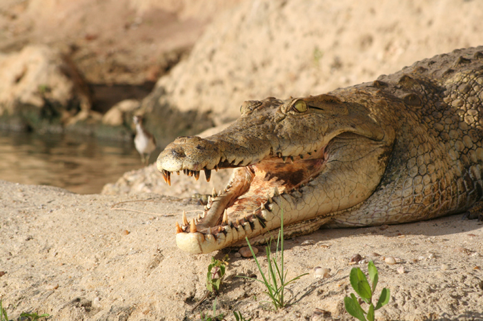 Crocodiles often bask with their mouths open, to cool off