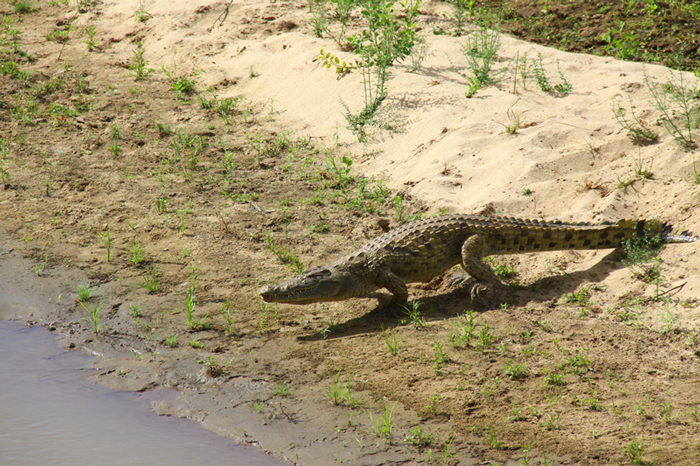 crocodile-heads-to-rufiji-river