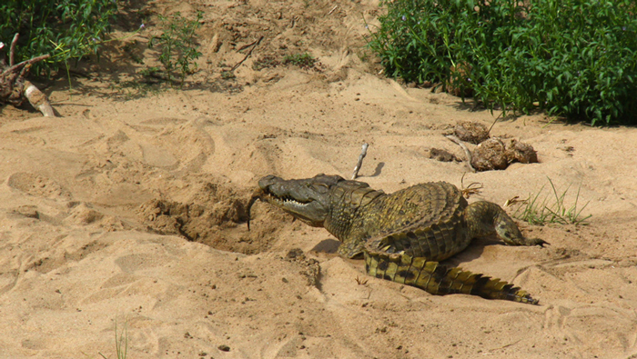 crocodile-pulls-out-its-hatchling