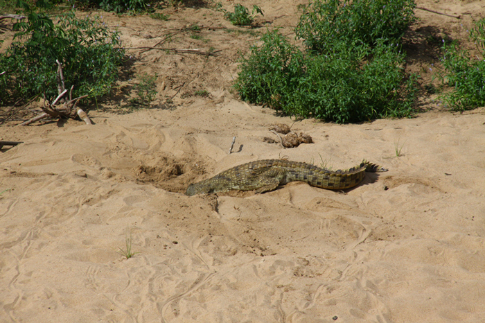 crocodile-reaches-into-hole-for-young
