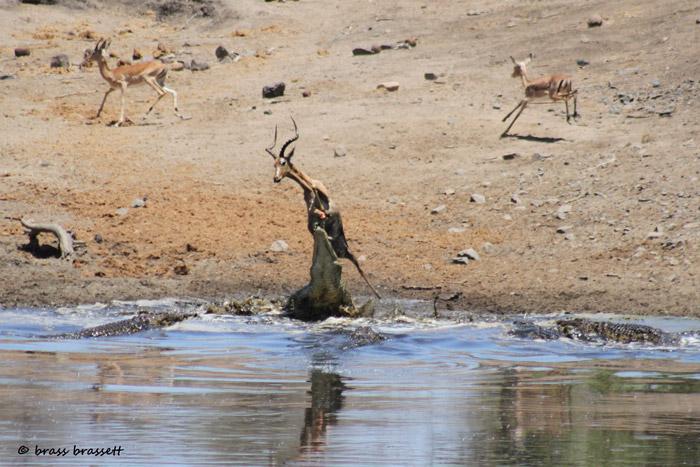 A crocodile takes an impala ram at Sweni Bird Hide