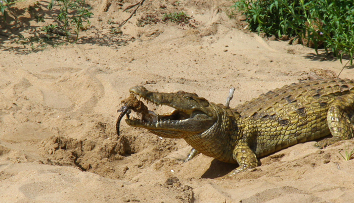 crocodile-with-hatchling-in-mouth