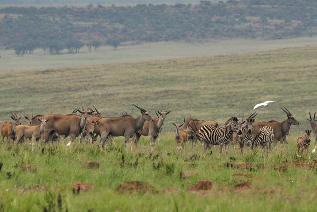 eland-and-zebra