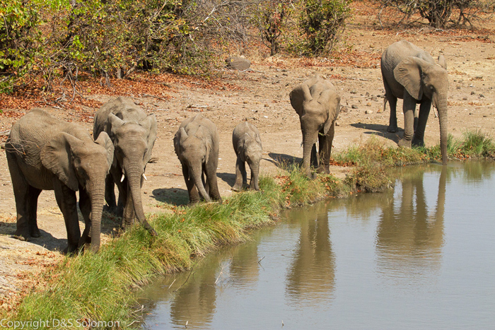 elephant-herd-comes-to-waterhole-for-a-drink