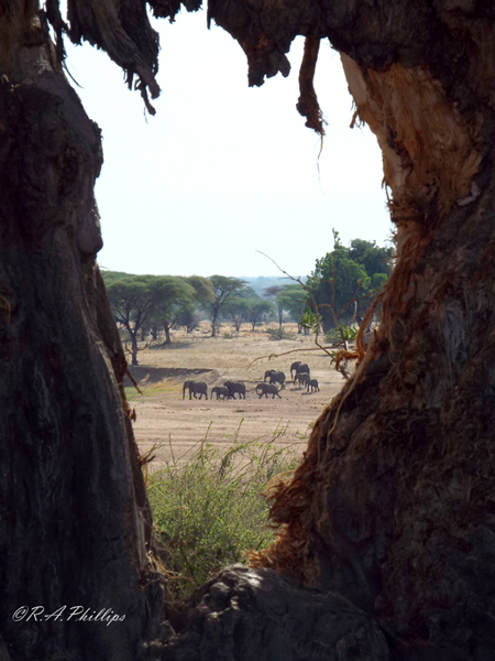 The huge gap in the trunk of this baobab was made by foraging elephants, who love the bark as well as the fruits of the tree. ©Rebecca Phillips, manager of Mdonya Old River camp in Ruaha.