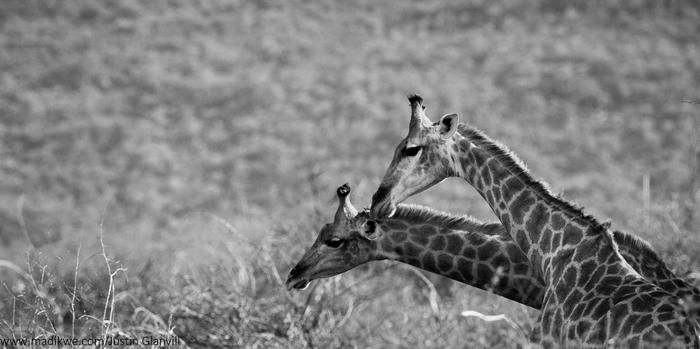 giraffe-black-and-white-jacis-lodges