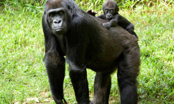 gorilla-and-baby