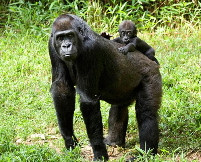 gorilla-and-baby