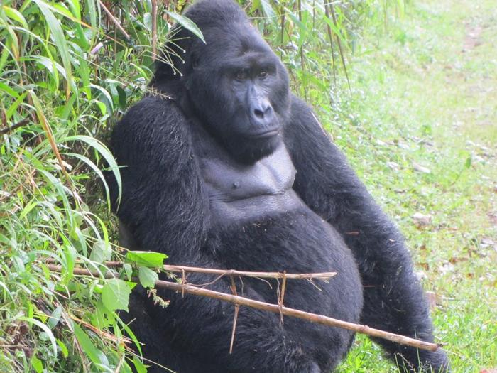 gorilla-safari-rwanda
