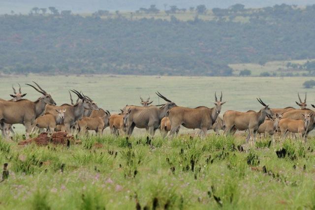 herd-of-eland