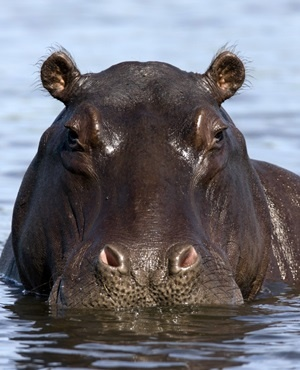 Hippo Kills Man On Valentines Day Africa Geographic