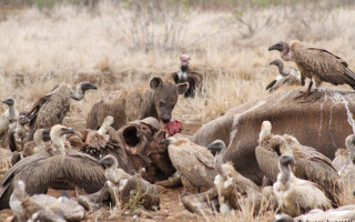 Hyenas and vultures feast on a hippo that was killed by lions