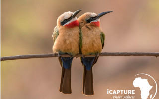 iCapture-bee-eaters