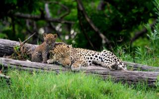 leopard-botswana