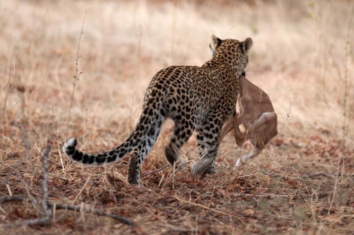 leopard-carries-kill