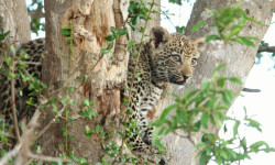 leopard-cub-in-tree-cheetah-plains