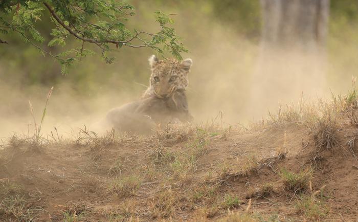 leopard-kills-warthog