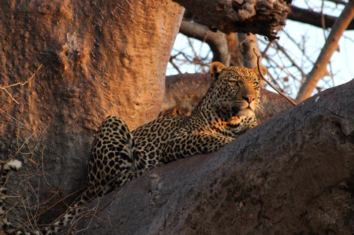 Leopards adore the wide branches of baobabs ©Rebecca Phillips