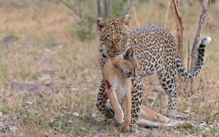 leopard-vs-caracal
