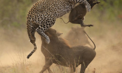 leopard-warthog-fight