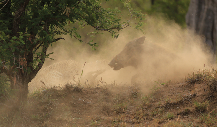 leopard-warthog-fighting