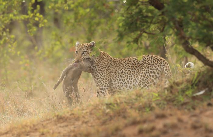 leopard-warthog-piglet