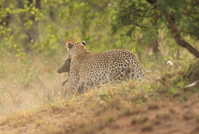 leopard-warthog