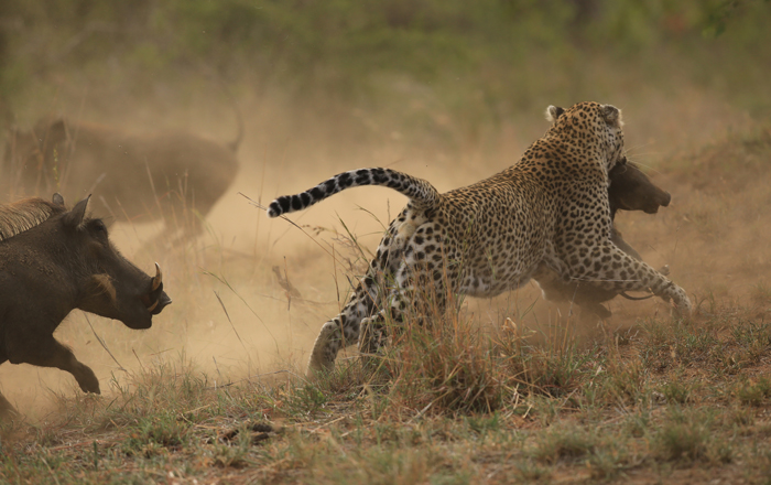 leopard-warthogs-fight
