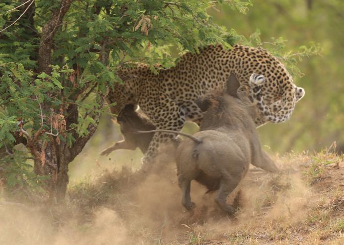 leopard-warthogs