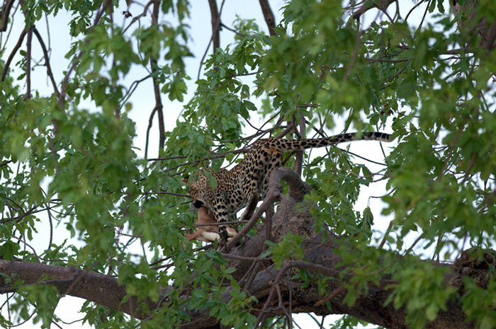 leopard-with-kill-in-tree