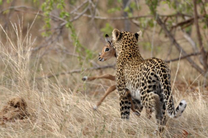 leopard-with-kill